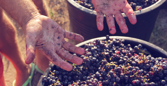 Harvesting Primitivo Grapes in Puglia