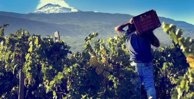 Grape Harvest with Locals in Sicily