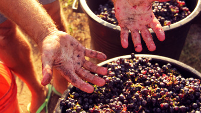 Getting hands dirty when harvesting grapes in Italy